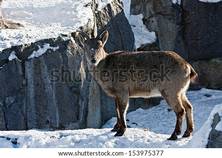 markhor goat in the snow in the mountains - stock photo