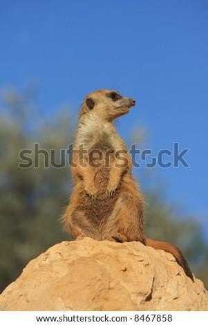 Marmot - stock photo