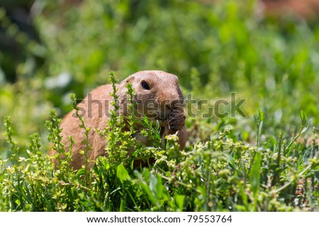 Marmot eats into the field - stock photo
