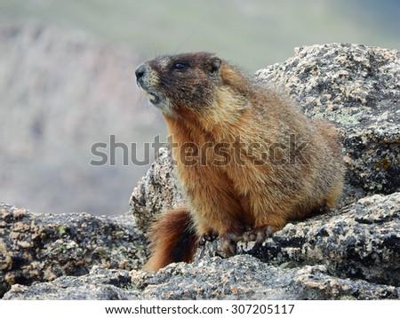 marmot sitting on granite on mount evans, colorado          - stock photo