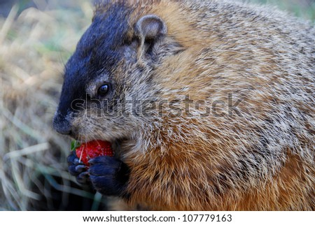 Marmots eating a strawberry - stock photo