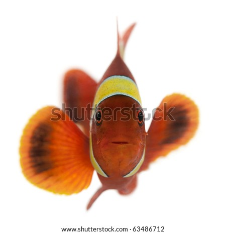 Maroon clownfish, Premnas biaculeatus, in front of white background - stock photo