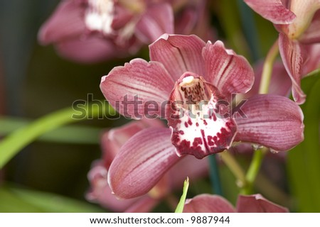 Maroon Cymbidium Orchid - shallow DOF - stock photo