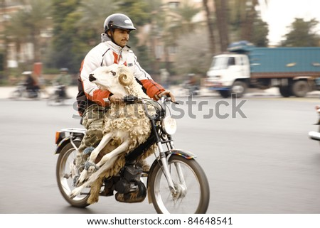 MARRACESH, MOROCCO - DECEMBER 19, 2007: An unidentified muslim carries his sheep to the market place to slaughter on Dec. 10, 2007 in Marracesh, Morocco. It is the day of Festival of Sacrifice Eid al-Adha. - stock photo