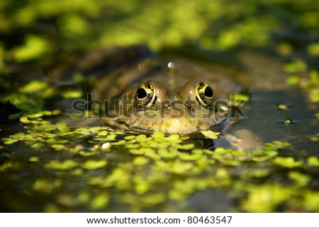 Marsh frog in a pond - stock photo