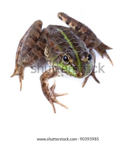 Marsh Frog (Rana ridibunda) in front of white background, isolated. - stock photo