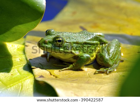 Marsh frog sits on a yellow leaf among waterlilies in the pond - stock photo