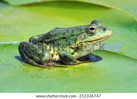 Marsh frog sitting on the green leaves among water lilies on the lake - stock photo