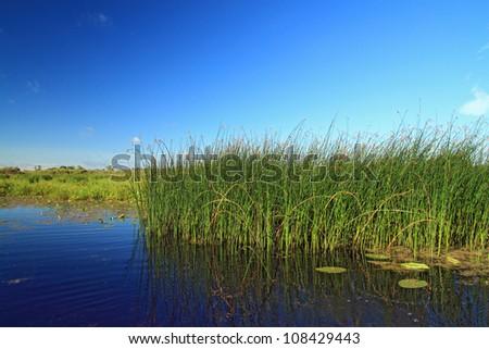 marsh herb - stock photo