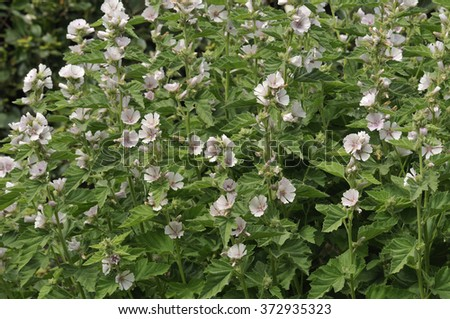 Marsh Mallow - Althaea officinalisFound on the coast of North Somerset - stock photo