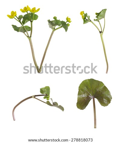 Marsh marigold, Caltha palustris collection isolated on white background - stock photo