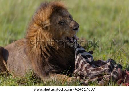Marsh Pride Lion with Zebra prey in Masai Mara, Kenya - stock photo