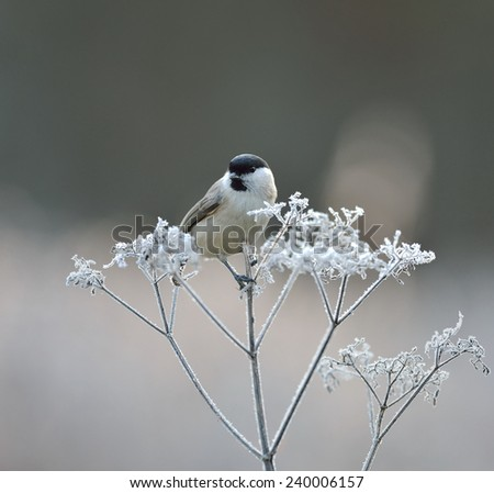 Marsh tit - stock photo