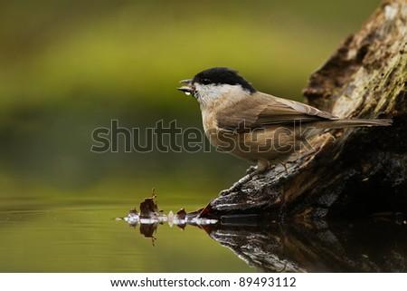 Marsh Tit (Poecile palustris previously Parus palustris) - stock photo