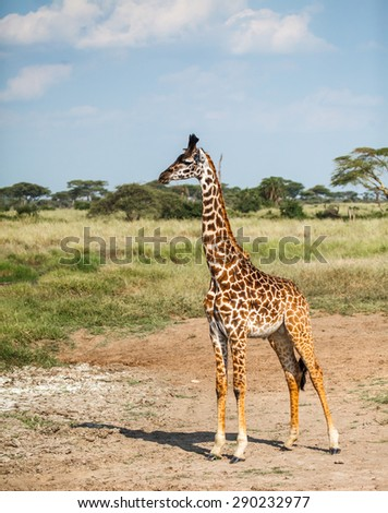 Masai Giraffe in wild at Serengeti National Park - stock photo