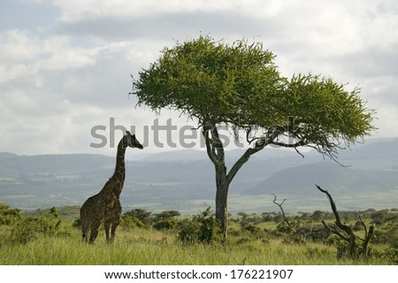 Masai Giraffe stands under acacia tree in Lewa Wildlife Conservancy, North Kenya, Africa - stock photo