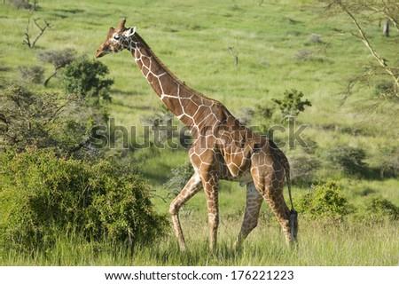 Masai Giraffe walks in Lewa Wildlife Conservancy, North Kenya, Africa - stock photo