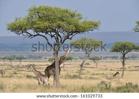 Masai Mara Giraffe - stock photo
