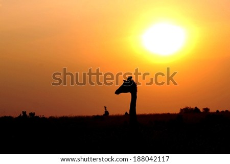 Masai or Kilimanjaro Giraffe - Scientific name: Giraffa camelopardalis tippelskirchi. Silhouette above the horizon with Lion King like African Sunset. Maasai Mara National Reserve, Kenya, East Africa. - stock photo