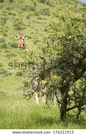 Masai or Kilimanjaro Giraffe stairs into camera at the Lewa Wildlife Conservancy, North Kenya, Africa - stock photo