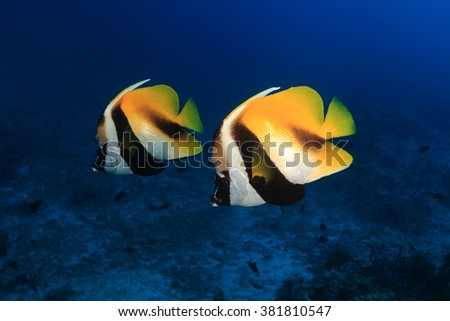 Masked bannerfish (Heniochus monoceros) in the tropical waters of the ocean  - stock photo