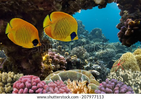 Masked Butterfly Fish and coral reef - stock photo
