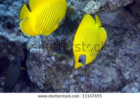 Masked Butterfly Fish (Chaetodon semilarvatus) - stock photo