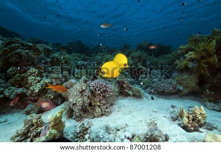 Masked butterflyfish in the Red Sea. - stock photo