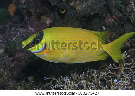 Masked rabbitfish in the tropical waters of bali - stock photo