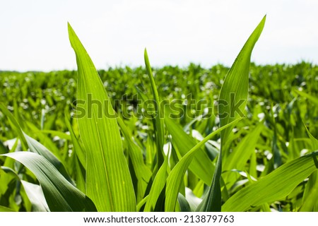 mass of corn leaves on field - stock photo