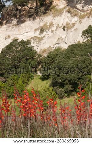 mass planting of Gladiolus dalenii - previously Gladiolus psittacinus roadside and under coastal cliffs, Western Bay of Plenty, New Zealand  - stock photo