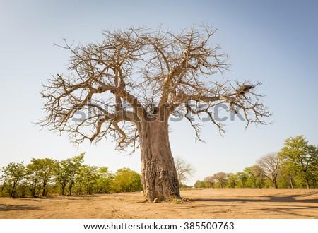 Massive Baobab tree in Botswana, Africa - stock photo