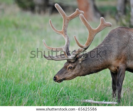 Massive Bull Elk in Velvet - stock photo