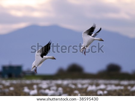 Massive flock of snow geese add two more - stock photo