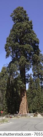 Massive Sequoia Tree - stock photo