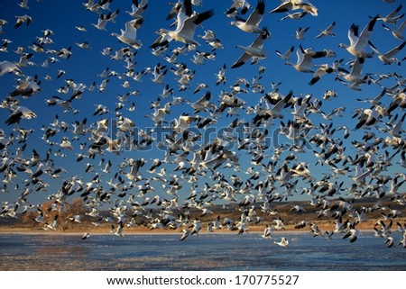 Massive Winter Migration - stock photo