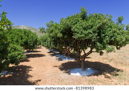mastic tree - stock photo