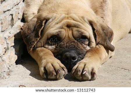 Mastiff 2 - stock photo