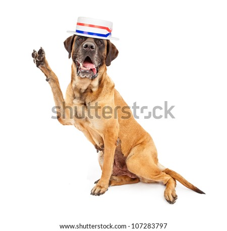 Mastiff dog against a white backdrop wearing a red, white and blue politician hat and holding his paw up while making a V shape to symbolize the word Vote - stock photo