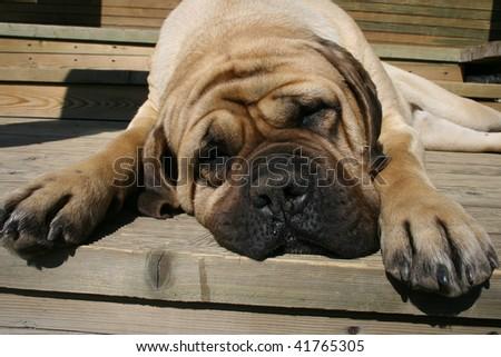 Mastiff on a wood background - stock photo