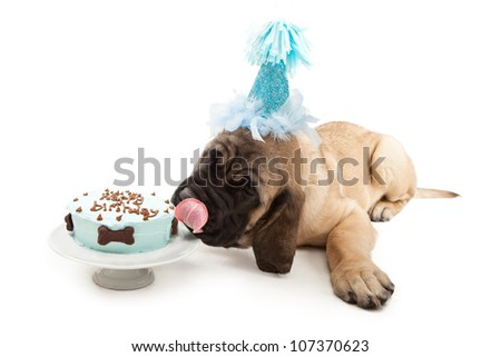 Mastiff puppy wearing a blue party hat and laying down while licking the frosting of a birthday cake with bone decorations - stock photo