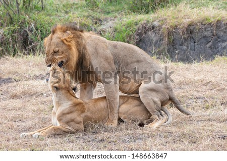 mating african lions - national park selous game reserve in tanzania - stock photo