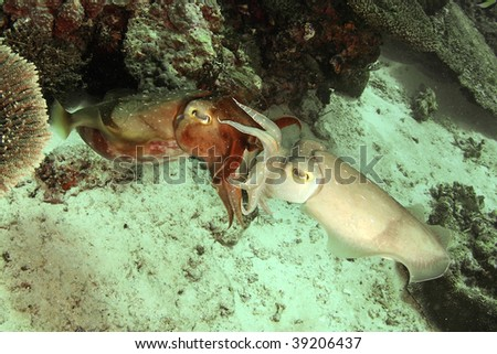 mating cuttlefish...they were try to reproduce... - stock photo