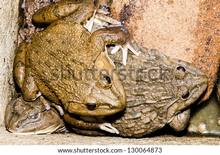 Mating Frogs - stock photo