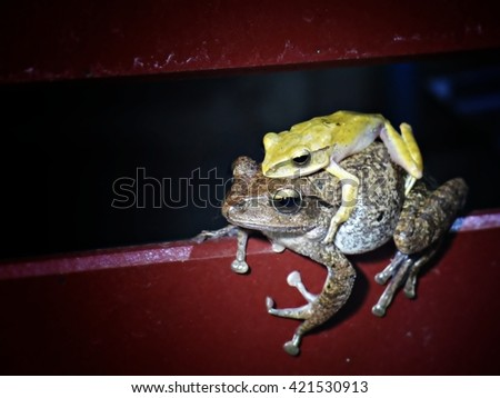 Mating frogs from closeup view - stock photo