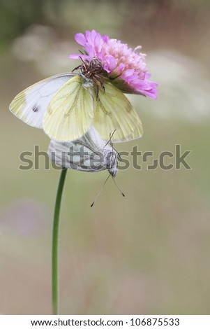 Mating Green-veined White butterflies, Pieris napi - amd cross spider - makro photo - stock photo
