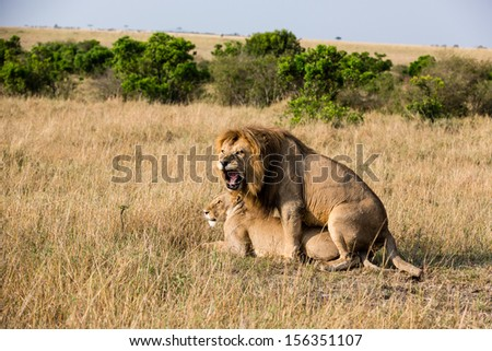 Mating Lions, Masai Mara, Kenya - stock photo