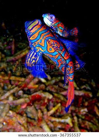 Mating mandarinfish (mandarin dragonet) - Lembeh Straight, Indonesia - stock photo