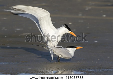 Mating royal terns (Thalasseus maximus) at the ocean beach, Galveston, Texas, USA. - stock photo