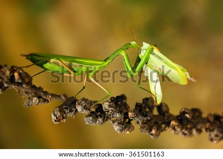 Matins eating mantis, two green insect praying mantis on flower, Mantis religiosa, action scene, Czech republic - stock photo